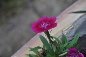 Flor do cravo