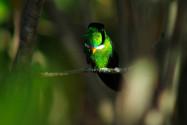 Beija-flor gravatinha | Foto: Thalison Ribeiro