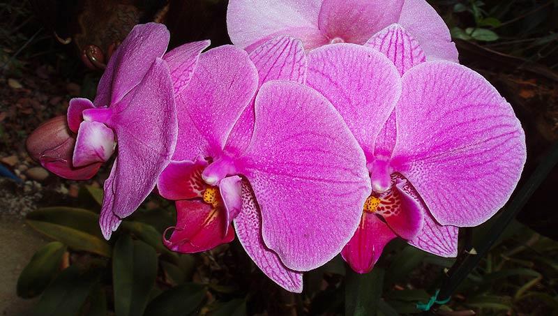 Orquídea - Branco Pires