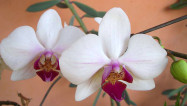 Orquídea - Clara Pires