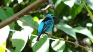 Saíra Azul | Foto: Roberto Rodrigues