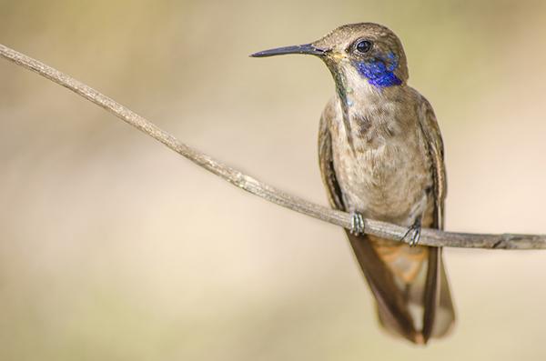 beija-flor-marrom (Colibri Delphinae) | Foto: Thalison Ribeiro