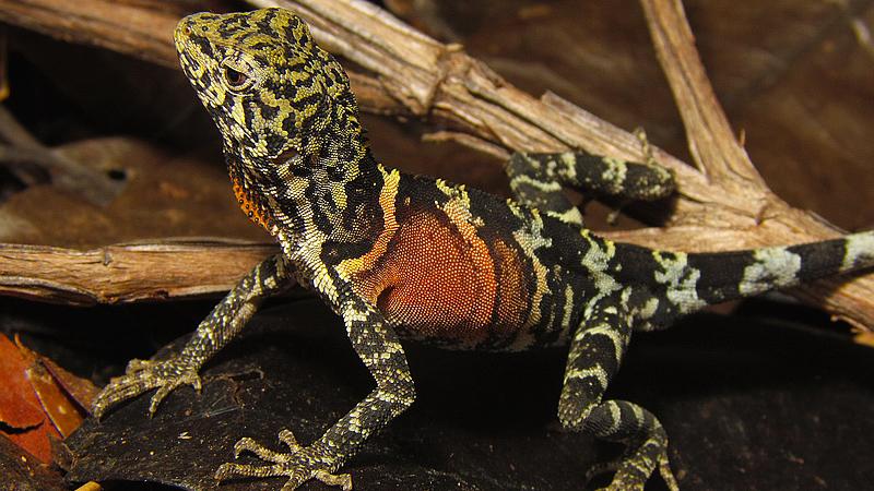 papa-vento (Enyalius-erythroceneus) | Foto: M. Teixeira