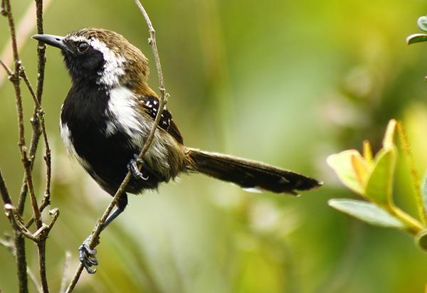 papa-formiga-do-sincorá (Formicivora-grantsaui) | Foto: Thalison Ribeiro