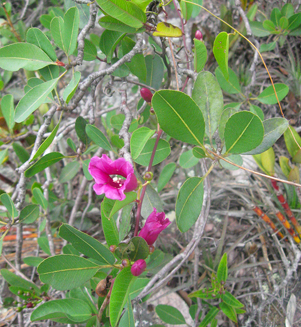 batata-da-serra (Ipomoea serrana) | Foto: Cezar Neubert Gonçalves