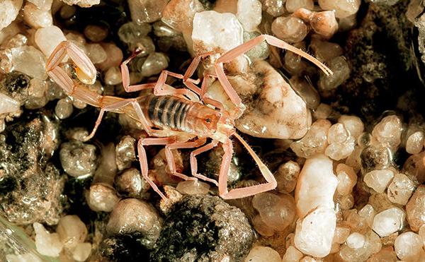 escorpião-translúcido-do-lapão (Troglorhopalurus Translucidus)   Foto: Adriano Gambarini