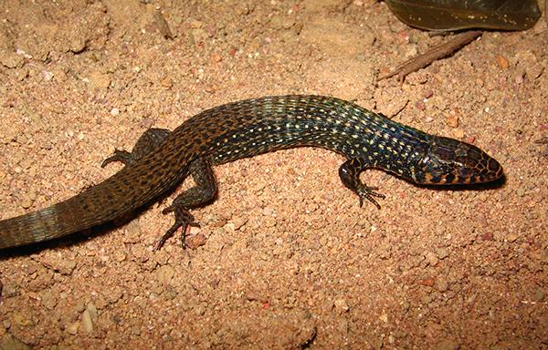 lagartinho-do-folhiço (Acratosaura spinosa)   Foto: Marco Antonio de Freitas
